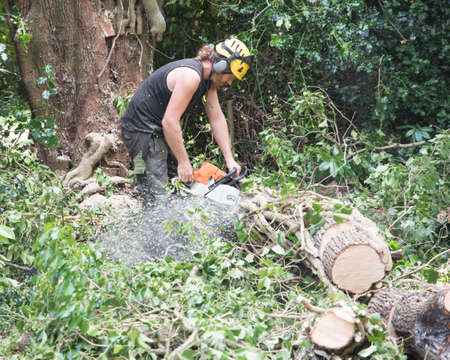 Male Tree Surgeon using a chainsaw on the ground to cut a falled tree into small pieces.