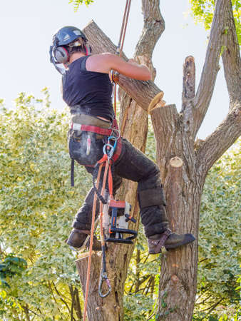 Female tree surgeon removing tree branch after she has sawn it from a tree