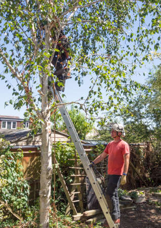 Man holds a ladder for a tree surgeon working up a tree. Stok Fotoğraf