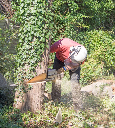 Male tree Surgeon using a chainsaw to cut  down a small tree.