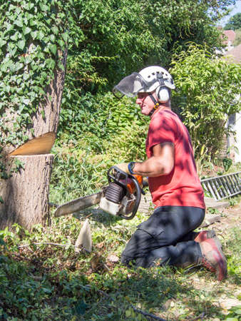 Tree Surgeon makes the first cut when cutting down a small tree.