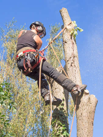 Female tree surgeon cutting branches while roped at the top of a tree. Stok Fotoğraf