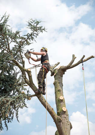 Arborist roped to the top of a tree trims branches with a chainsaw. Stock Photo