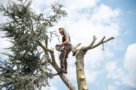 Tree Surgeon working at the top of a tree using a safety harness and ropes
