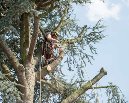 Arborist securely roped works at the top of a tree Stok Fotoğraf