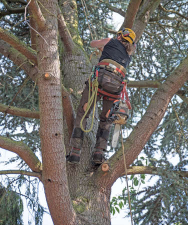 Tree surgeon starts a climb up a tree carrying a chainsaw.