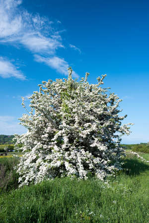 A Hawthorne tree in full bloom in the English countryside Stok Fotoğraf