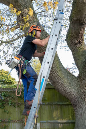 Arborist or Tree Surgeon with safety harness and ropes climbing up a ladder Imagens