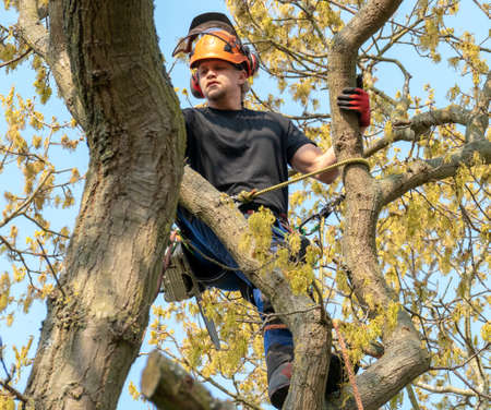 Tree Surgeon or Arborist roped to a tree ready to work. Imagens