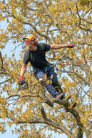 Tree Surgeon or Arborist holding a chain saw up a tree.