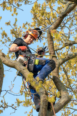 Arborist or Tree Surgeon roped up a tree ready for work.