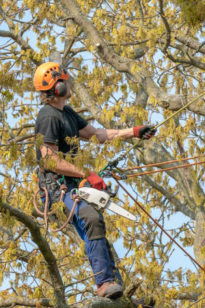 Tree Surgeon or Arborist  with a chain saw and safety ropes up a tree.