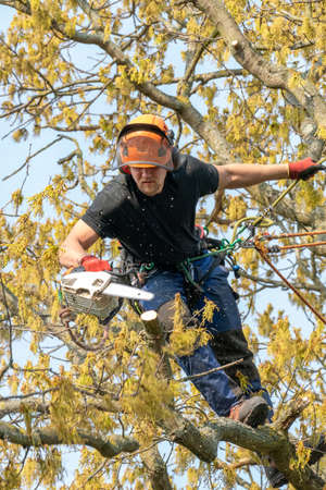 Tree Surgeon or Arborist cutting a branch up a tree.