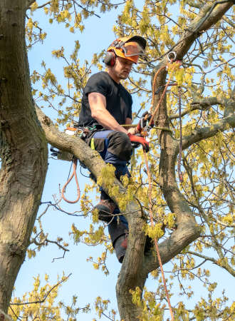 Tree Surgeon or Arborist  adjusting his safety ropes.
