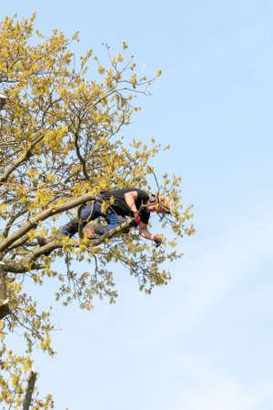 Tree Surgeon or Arborist dropping a branch down from a tree.