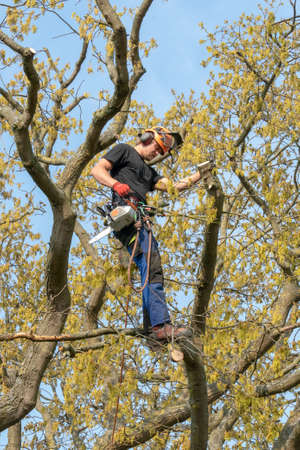 Tree Surgeon or Arborist at work up a Tree with safety ropes. Imagens