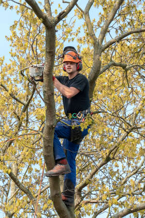 Arborist or Tree Surgeon cutting a branch up a tree using a chainsaw.