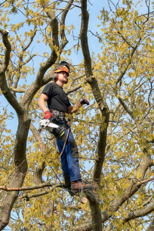 Arborist or Tree Surgeon at work up a Tree using safety ropes.