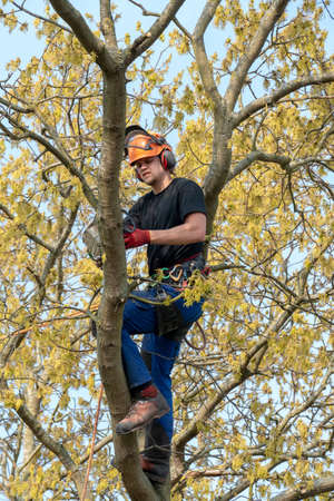 Tree Surgeon or Arborist using a chainsaw while roped up a tree. Imagens