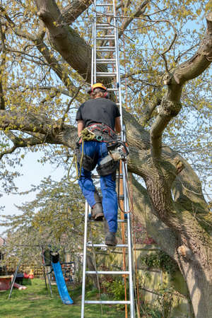 Tree Surgeon or Arborist with a chainsaw and safety ropes uses a ladder to start climbing up a tree.