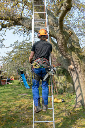 Arborist or Tree Surgeon with a chainsaw and safety ropes climbing a ladder.