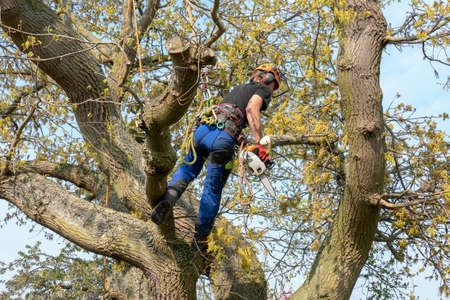 Tree Surgeon or Arborist using safety ropes and a chainsaw up a tree . Imagens