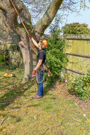 Arborist or Tree Surgeon checking safety ropes before working up a tree. Imagens