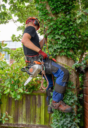 Tree Surgeon or Arborist with a chainsaw testing his safety ropes before climbing a tree.