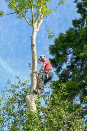 Tree Surgeon or Arborist checking safety ropes halfway up a tall tree Imagens