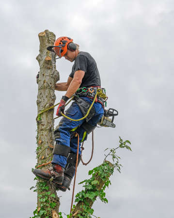 Tree Surgeon or Arborist with a chainsaw and wearing safety equipment on a tree top.