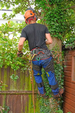 Tree Surgeon or Arborist with a harness roped to a tree.
