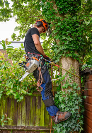 Arborist or tree surgeon with a chainsaw checking his safety ropes.