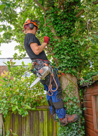 Arborist or Tree Surgeon with a chainsaw checking his safety ropes. Imagens