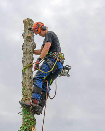 Tree Surgeon or Arborist wearing safety equipment and carrying a chainsaw is roped at the top of a tree. Stok Fotoğraf - 129779416