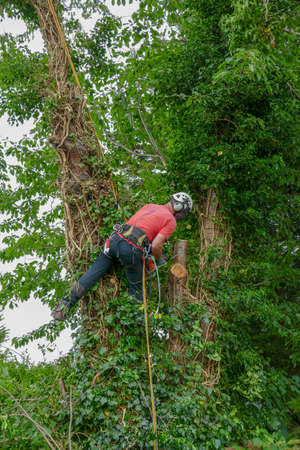 Arborist or tree surgeon roped up a tall tree using a chainsaw Stok Fotoğraf - 132194890