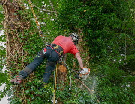 Tree Surgeon or Arborist using safety ropes to lean over to cut a branch with a chainsaw Stok Fotoğraf - 131710266