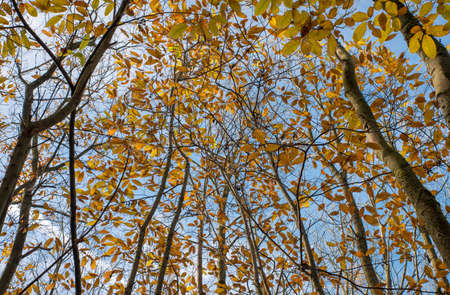 Tree canopy in the Autumn with leaves changing colour