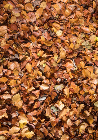 Autumnal brown leaves litter the floor of a forest