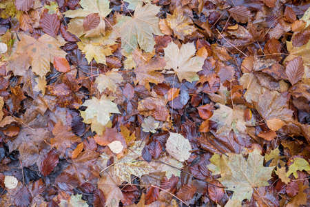 Close view of wet fallen leaves cover a forest floor in the Autumn Reklamní fotografie