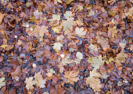 Wet fallen leaves cover a forest floor in the Autumn