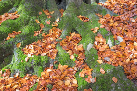 The moss covered tree roots has fallen Autumn leaves covering them.