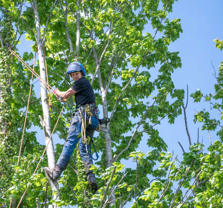 A Tree Surgeon or Arborist uses safety rope to secure himself up a tree