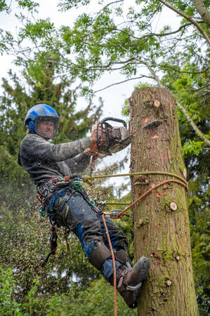 A Tree Surgeon or Arborist prepearing to cut down a tree stump.