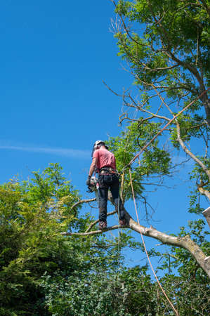 A Tree Surgeon or Arborist cuts of large branch while using safety ropes up a tree.