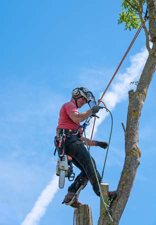 A Tree Surgeon or Arborist adjusting safety ropes near the top of a tree.