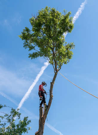 Tree Surgeon or Arborist adjusting his safety ropes standing up a tall tree. Stok Fotoğraf