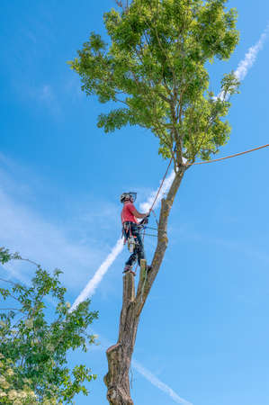 A Tree Surgeon or Arborist checking his safety ropes up a tall tree