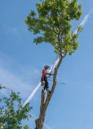 Arborist or tree Surgeon using safety ropes and a harness up a tall tree.