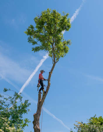 Arborist or tree Surgeon cutting down tall tree using safety ropes.