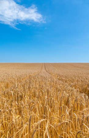Field of golden corn ready for harvest. Stock fotó